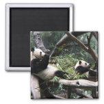 Panda en el parque zoológico de San Diego Imanes Para Frigoríficos