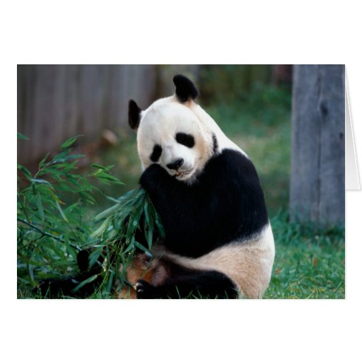 Panda Felicitacion