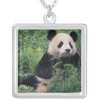 Panda gigante en la hierba, valle de Wolong, Collar Plateado