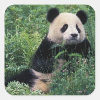 Panda gigante en la hierba, valle de Wolong, Calcomanía Cuadradase