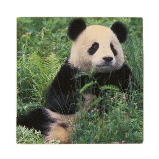 Panda gigante en la hierba, valle de Wolong,