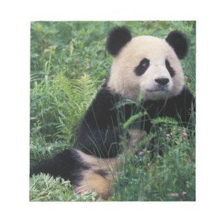 Panda gigante en la hierba, valle de Wolong, Sichu Bloc