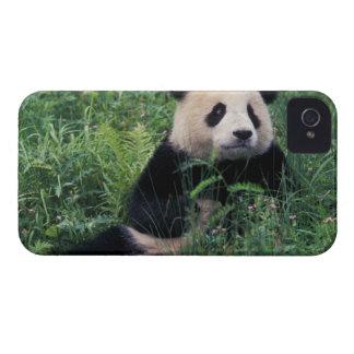 Panda gigante en la hierba, valle de Wolong, Sichu iPhone 4 Case-Mate Cárcasa