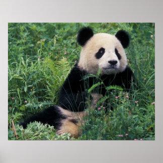 Panda gigante en la hierba, valle de Wolong, Sichu Poster