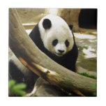 Panda gigante Gao Gao en el parque zoológico de Azulejo Cuadrado Pequeño