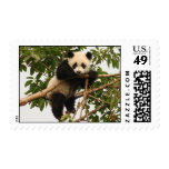Panda gigante joven franqueo