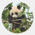 Panda gigante joven - pegatinas etiqueta redonda
