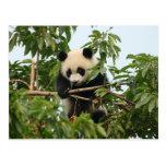 Panda gigante joven - postal
