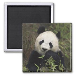 Panda gigante linda imán cuadrado