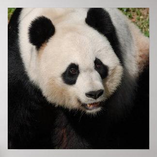 Panda gigante linda impresiones