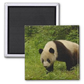 Panda gigante (melanoleuca del Ailuropoda) en su Imán Cuadrado