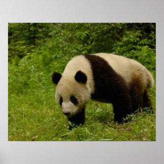 Panda gigante (melanoleuca del Ailuropoda) en su Impresiones