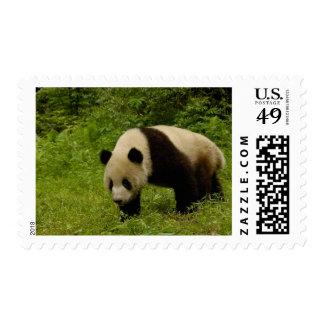 Panda gigante (melanoleuca del Ailuropoda) en su Envio