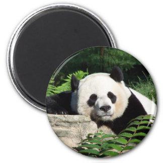 Panda gigante Napping Imán Redondo 5 Cm