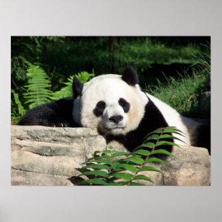 Panda gigante Napping Póster