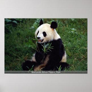 Panda gigante, provincia de Sichuan, China Posters