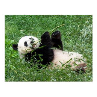 Panda gigante que gandulea comiendo el bambú postal