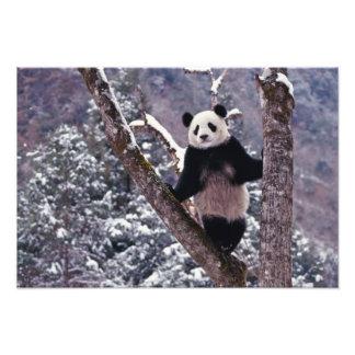 Panda gigante que se coloca en el árbol, Wolong, S Cojinete