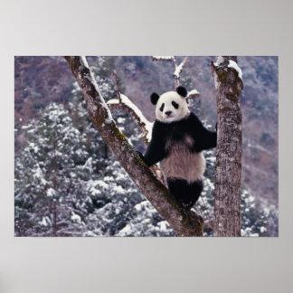Panda gigante que se coloca en el árbol, Wolong, S Impresiones