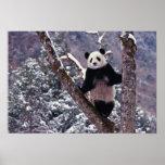Panda gigante que se coloca en el árbol, Wolong, S Póster