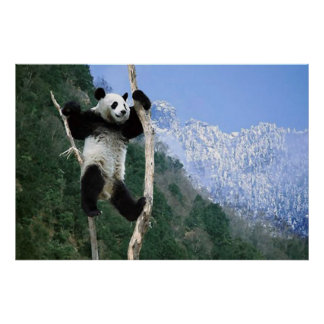 Panda In a tree poster
