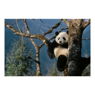 Panda In a tree poster 3