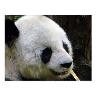 Panda Lookee-Loo Postcard