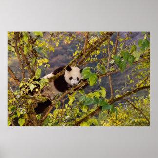 Panda on tree with autumn foliage, Wolong, Poster