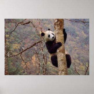 Panda on tree, Wolong, Sichuan, China Poster
