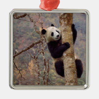 Panda on tree, Wolong, Sichuan, China Square Metal Christmas Ornament