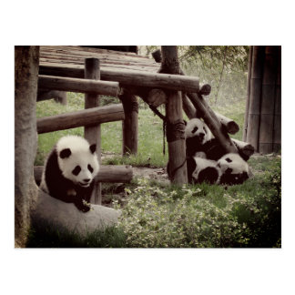Panda Photo - Retro Style Postcard