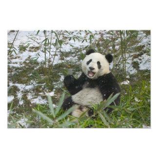 Panda que come el bambú en la nieve, Wolong, Sichu Fotografía