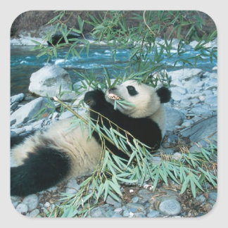 Panda que come el bambú por la orilla del río, calcomanias cuadradas
