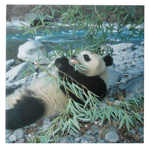 Panda que come el bambú por la orilla del río, Wol Azulejo Cuadrado Grande