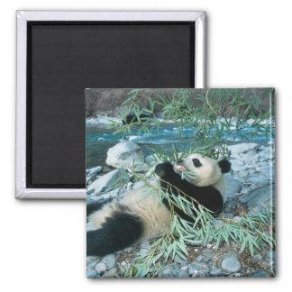 Panda que come el bambú por la orilla del río, Wol Imán Cuadrado