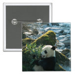 Panda que come el bambú por la orilla del río, Wol Pin Cuadrada 5 Cm