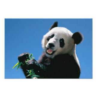 Panda que come el bambú, Wolong, Sichuan, China Cojinete