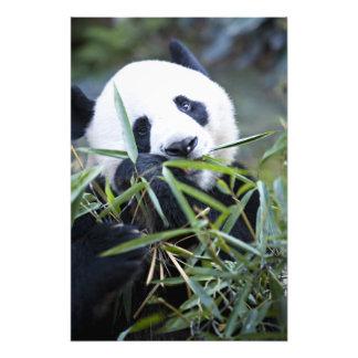 Panda que come los brotes de bambú Alluropoda Impresiones Fotograficas