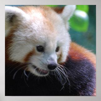 Panda roja dulce posters