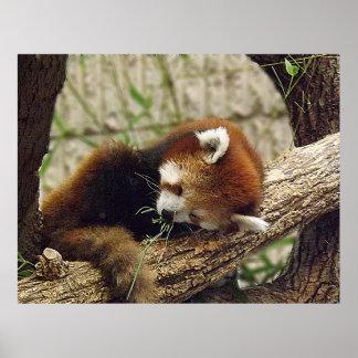 Panda roja el dormir lindo con la comida en su boc posters