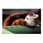 Panda roja el dormir tarjetas postales