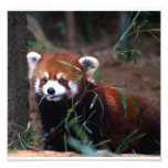 Panda roja fotografías