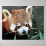 Panda roja, parque zoológico de Taronga, Sydney, A Poster