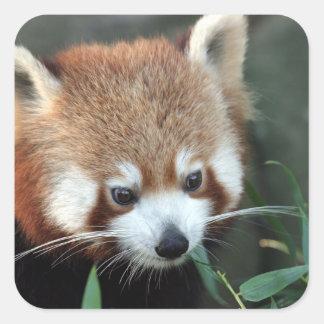 Panda roja parque zoológico de Taronga Sydney A Calcomania Cuadradas Personalizadas