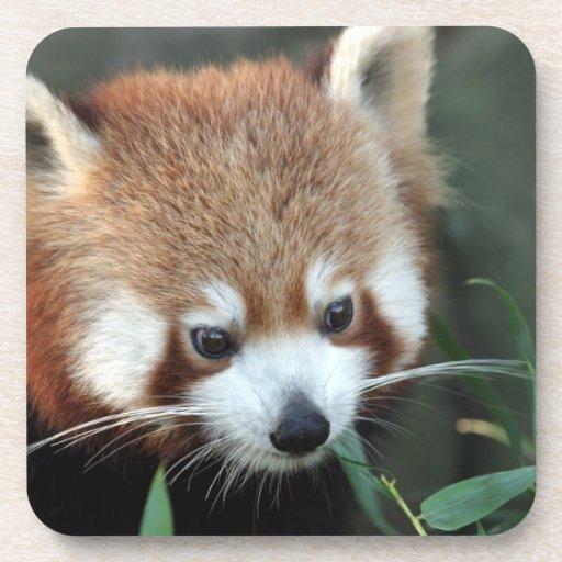 Panda roja, parque zoológico de Taronga, Sydney, A Posavasos De Bebida
