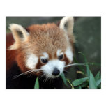 Panda roja, parque zoológico de Taronga, Sydney, A Tarjeta Postal