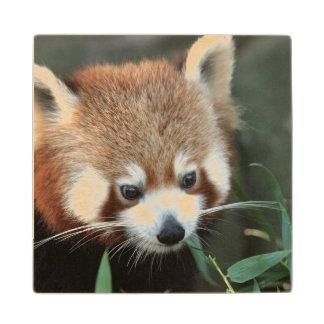 Panda roja parque zoológico de Taronga Sydney