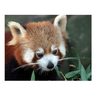 Panda roja, parque zoológico de Taronga, Sydney, Postal