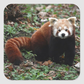 Panda roja pegatina cuadrada