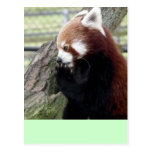 Panda roja postales